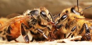 Honeybees grooming by Alex Ford, Victoria, age 17