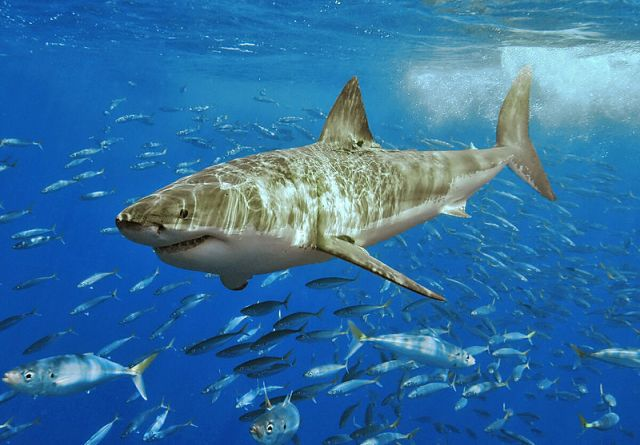 Great white shark at Isla Guadalupe, Mexico, August 2006. Shot with Nikon D70s in Ikelite housing, in natural light. Animal estimated at 11-12 feet (3.3 to 3.6 m) in length, age unknown. Photo by Pterantula (Terry Goss) at en.wikipedia. Licensed under the GNU Free Documentation License version 1.2 or later.