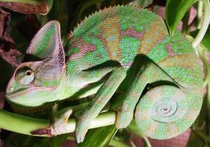 Veiled chameleon. Photo by Billybizkit, licensed under Creative Commons 3.0.