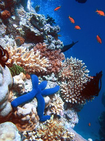 Blue Starfish (Linckia laevigata) resting on hard Acropora coral. Lighthouse, Ribbon Reefs, Great Barrier Reef. Image by Richard Ling, licensed under Creative Commons v. 3.0