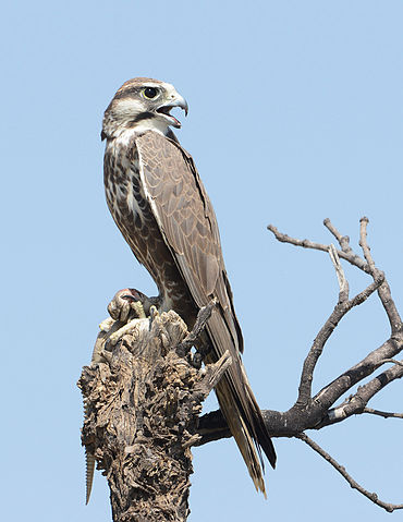 Laggar falcon in India. Image by Koshy Koshy, licensed under Creative Commons v. 2.0