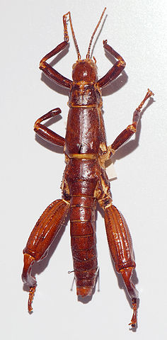 Image licensed under the Creative Commons by author Peter Halasz (//commons.wikimedia.org/wiki/File:Dryococelus_australis_02_Pengo.jpg)