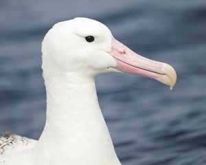 Southern Royal Albatross. Image by JJ Harrison (jjharrison89@facebook.com), licensed under Creative Commons 3.3
