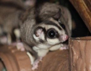 Sugar Glider. Photo AP/Evan Agostini. Licensed under Creative Commons