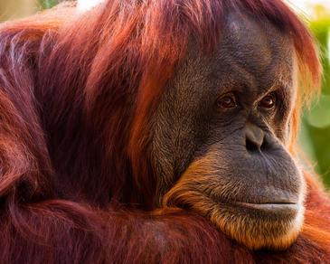 Orangutan - Image credit- davidandbecky:Flickr Creative Commons license.