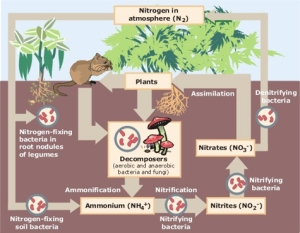 Soil nitrogen cycle, from Wikimedia Commons.