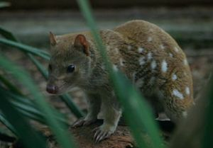 Tiger quoll, a nocturnal apex predator. Image by Arnd Bergmann, licensed under Creative Commons 2.0.