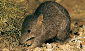 The endangered golden bandicoot. Image (cropped) by Amareeta Kelly, licenced under Creative Commons.