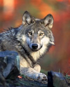 Canis lupus. Image by Gary Kramer, from the US Fish & Wildlife Service. Image in the public domain.