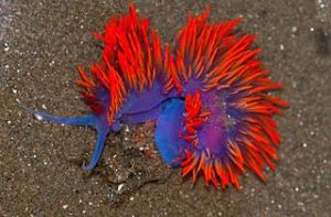 Spanish shawl (Flabellina iodinea). Image by Jerry Kirkhart, licenced under Creative Commons 2.0.