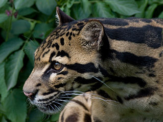 Bornean clouded leopard. Image by Spencer Wright, licensed under Creative Commons 2.0