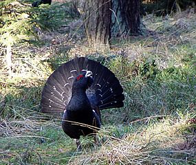 Endangered Capercaillie, found in the UK only in the Caledonian forest ecosystem. Image by Lomvi, licensed under the GNU FDL.