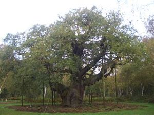 The major oak in Sherwood Forest which supposedly sheltered Robin Hood. Image in public domain.