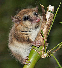 Monito del Monte, a small arborial marsupial thought to be extinct. Image by  José Luis Bartheld from Valdivia, Chile, licensed under Creative Commons 2.0