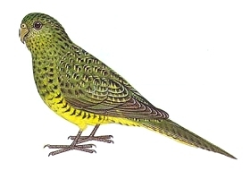 Night parrot, or pezoporus occidentalis. Image in public domain.
