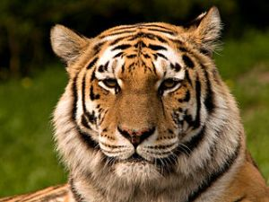 Siberian Tiger (Panthera tigris altaica). Image by S Taheri, licensed under Creative Commons 2.5