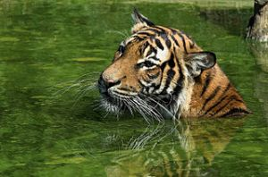 Swimming Malayan Tiger in Dortmund zoological garden. Image by Hans Stieglitz, licensed under Creative Commons 3.0