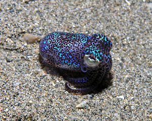 Bobtail squid. Image by Nick Hobgood, licensed under Creative Commons 3.0
