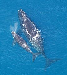 Atlantic northern right whale with calf. Image by US government, in public domain