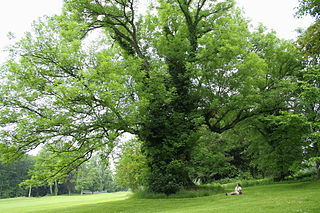 Fraxinus excelsior, Ardenne. Image by jean-Pol Grandmont, licensed under GNU FDL