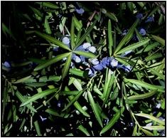 Fruiting podocarpus elatus. Image by Rohan Mellick, used with permission.