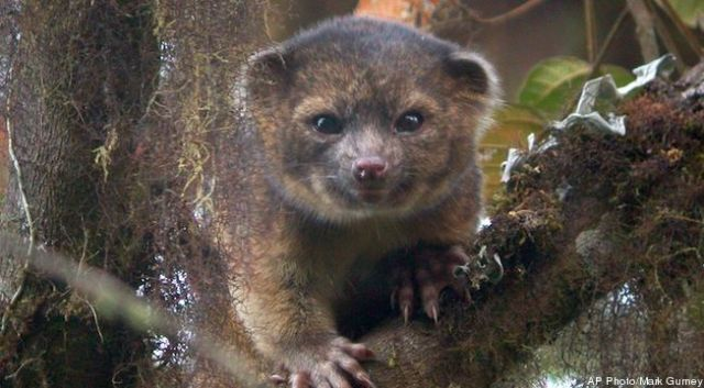 Olinguito. (AP photo by Mark Gurney)