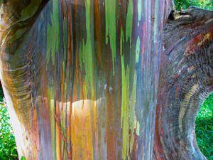 Rainbow eucalyptus on Maui. Image by Mann jess, licensed under Creative Commons 3.0
