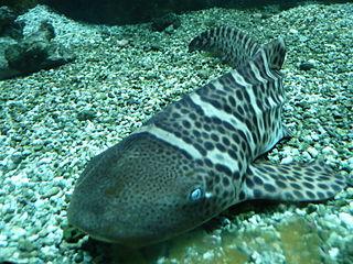 Juvenile zebra shark. Image by Line1, licensed under Creative Commons.