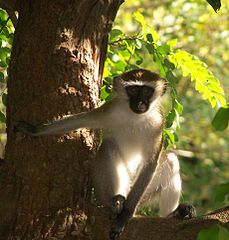 Vervet monkey. Image by Xlandfair, in public domain