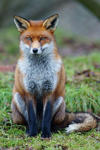 Red fox, not dancing. Image by Peter Trimming, licensed under Creative Commons 2.0