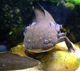 Axolotl. Image by Stan Shebbs, licensed under GNU FDL.