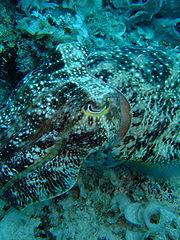 Broadclub cuttlefish. Image by Tongjin, licensed under GNU FDL