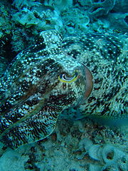 Broadclub cuttlefish. Image by Tongjin, licensed under GNU FDL