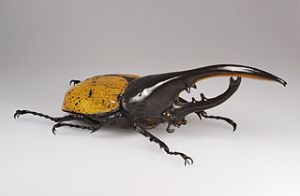Hercules beetle. Image by Didier Descouens, licensed under Creative Commons 3.0