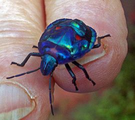 Hibiscus harlequin beetle. Image by John Hill, licensed under GNU FDL