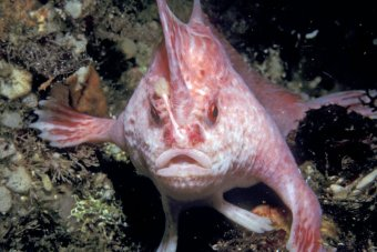 Pink handfish. No source information available.