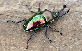 Rainbow stag beetle. Image by http://animaltheory.blogspot.com.au/2013/08/rainbow-stag-beetle.html