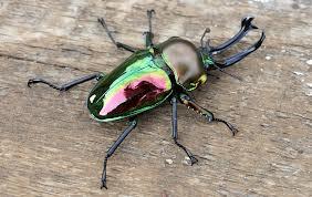 Rainbow stag beetle. Image by http://animaltheory.blogspot.com.au/2013/08/rainbow-stag-beetle.html