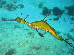 Weedy seadragon. Image by Richard Ling, licensed under Creative Commons 3.0