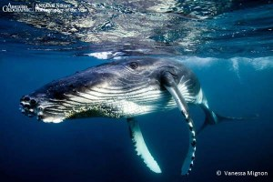 'BamBam' by Vanessa Mignon, Finalist, Underwater Subject, ANZANG 2013 - See more at: http://www.samuseum.sa.gov.au/explore/exhibitions/the-australian-geographic-anzang-nature-photographer-of-the-year-2013#sthash.6cOikMDX.dpuf