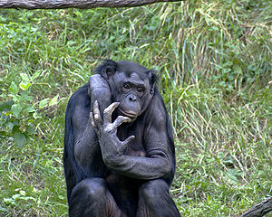 Bonobo (pygmy chimp). Because I'm too squeamish to post a picture of a tick. Image by Kabir Bakie, licensed under Creative Commons 2.5