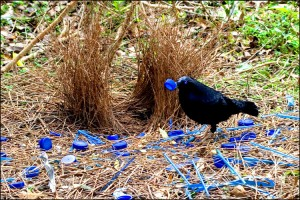 Male satin bower bird with bower. Image sourced from