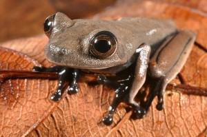 Cocoa frog found in Suriname. Image by Stuart V Nielsen/Conservation International