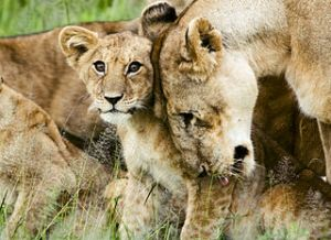 Lion cub with mother in the Serengeti. Image by David Dennis, licensed under Creative Commons 2.0