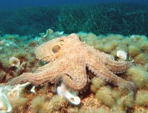 Octopus vulgaris (common octopus). Image by albert kok, licensed under GNU FDL
