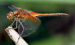 Yellow-winged darter dragonfly. Image by André Karwath aka Aka, licensed under Creative Commons 2.5