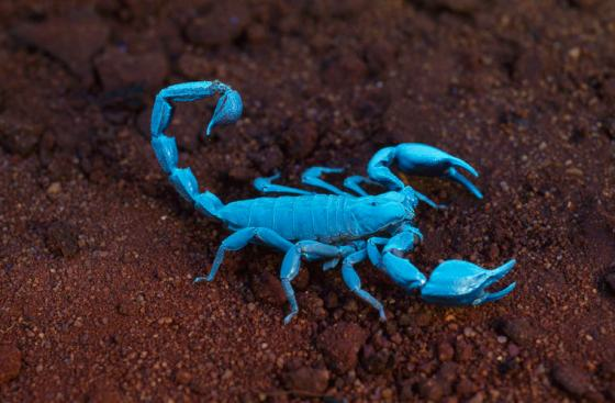 Scorpion under UV light. Photographer: Alan Henderson. Source: Museum Victoria