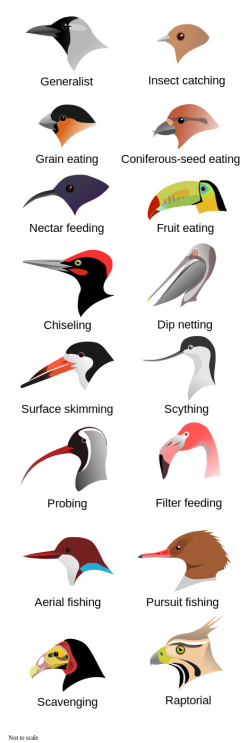 Bird beaks evolved for different purposes. Image by L. Shyamal, licensed under Creative Commons 2.5