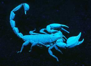 Scorpion under UV light. Photographer: Alan Henderson. Source: Museum Victoria