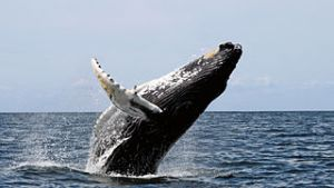 Humpback whale breaching. Image by Whit Welles Wwelles14, licensed under GNU FDL